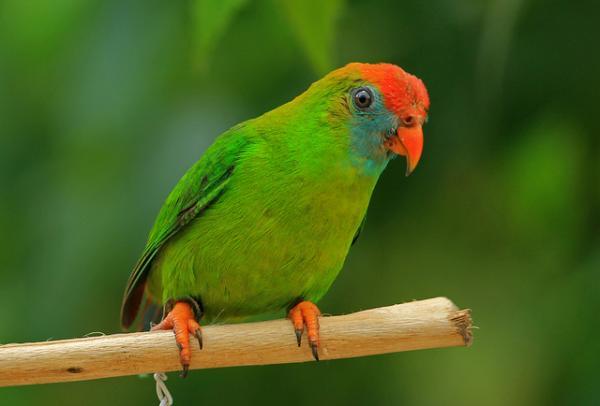 Philippine Hanging Parrot or Kulasisi