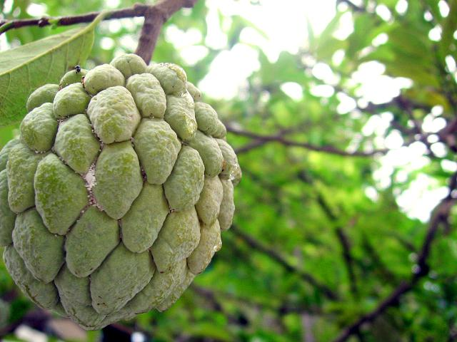 fruits that are healthy atis fruit
